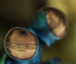 eye of a mantis shrimp, Bali 2014, Sony A7r 28-70mm+ smc,... by Elmar Laubender