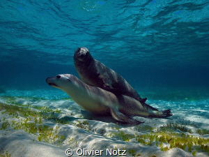 A big hug under water between a male and a female sea lion by Olivier Notz