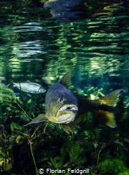Dourado (Salminus brasiliensis) this pic was taken in rio... by Florian Feldgrill