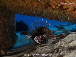 Lion fish under a piece of the Djabeda wreck in Mauritius. by Olivier Fayolle