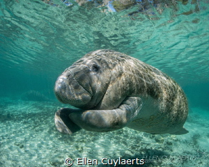 Florida Manatee having an itch! by Ellen Cuylaerts