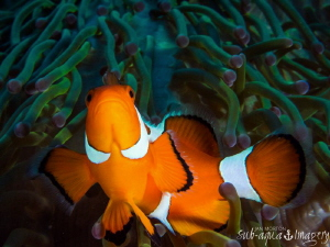 Clown Fish.  43mm Macro on Oly E-M1 by Jan Morton