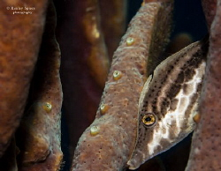 'I'm not here' - A Slender Filefish (Monacanthus tuckeri)... by Henley Spiers