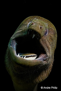 """""""Scary or lovely?"""" - Giant Moray during a dental care Ko... by Andre Philip"""