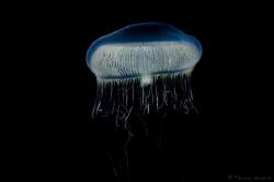 Jellyfish from Patagonia fjord, chile.  www.thomasheran.com by Thomas Heran