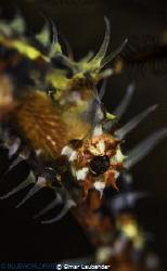harlequin gostpipefish, lebuan segara, Bali 2014 by Elmar Laubender