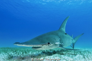one of the most elegant sharks ,Bimini 2015 by Michael Weberberger