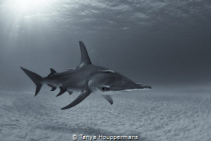 Silver Screen Siren A hammerhead shark glides over the s... by Tanya Houppermans
