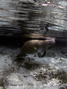 """""""Serenity"""" Yesterday I got this shot of a manatee - litt... by Patricia Sinclair"""