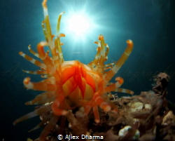 File clam known as limaria sp by Ajiex Dharma