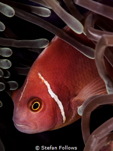 Reprobate. Pink Anemonefish - Amphiprion perideraion. Mae... by Stefan Follows