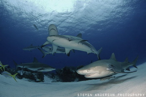 Sometimes its hard deciding which shark to photograph. In... by Steven Anderson