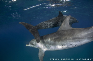 How about and over and under? Two Spotted Dolphins play i... by Steven Anderson