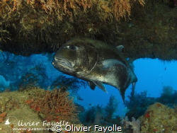 This afternoon, Giant Trevally entered a cave at 33 meter... by Olivier Fayolle