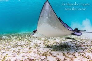 Eagle Ray fly, Akumal Mexico by Alejandro Topete