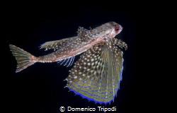 Dactylopterus volitans by Domenico Tripodi
