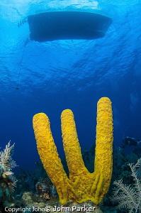 Yellow Sponge Grand Cayman East End by John Parker