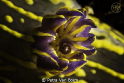 12/ The branchs of the Hypselodoris picta, the most commo... by Petra Van Borm