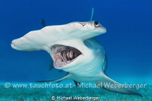 Great Hammerhead Bimini 2015 really a very impressive ani... by Michael Weberberger
