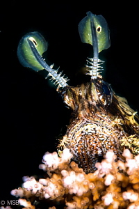 Lionfish on hard coral. by Mehmet Salih Bilal