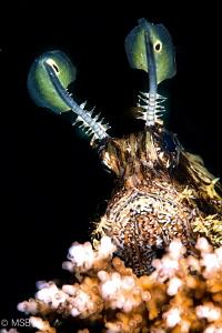 Lionfish on hard coral. by Mehmet Salih Bilal