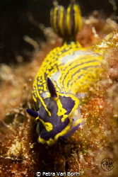 Hungry Hypselodoris picta by Petra Van Borm