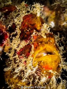 In yer' Face. Frogfish - Antennarius sp. Chaloklum, Thail... by Stefan Follows