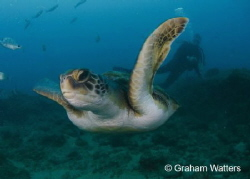 Turtle flyby Tenerife by Graham Watters