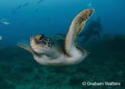 Turtle flyby Tenerife by Graham Watters