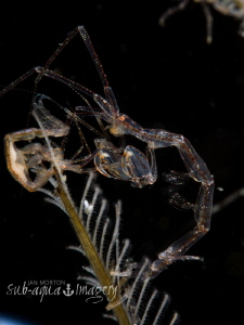 Skeleton Shrimp - Full Frame