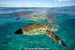 Reef Shark/Bimini by Alexander Niedermair
