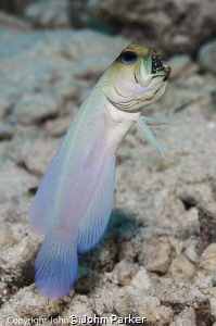 Jawfish with eggs by John Parker