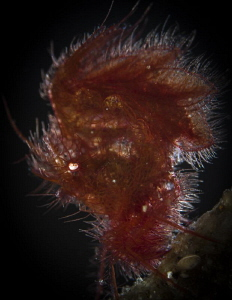 Hairy shrimp backlight by Doris Vierkötter