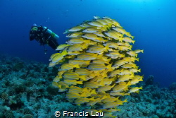 Yellow Snappers..Fish Ball by Francis Lau