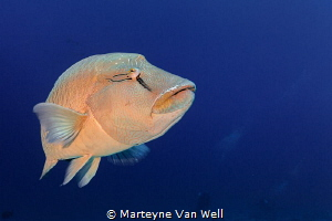 Up close and personal with a friendly Napoleon Wrasse by Marteyne Van Well