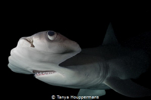 Everything Is Looking Up A hammerhead shark at night off... by Tanya Houppermans