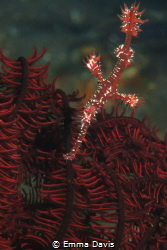 Ornate Ghost Pipefish by Emma Davis
