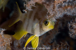 Night Markings / Golden damsel nestled into a fan for the... by James Deverich