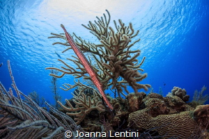 Trumpetfish in Little Cayman by Joanna Lentini
