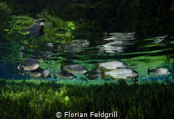 This Pic was taken in Blue Spring near Bonito Brazil with... by Florian Feldgrill