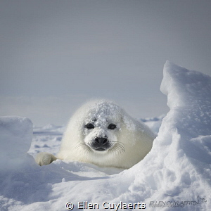 Harp Seal, Gulf of St. Lawrence by Ellen Cuylaerts