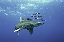 elphinstone-reef-nik D2x-divers heaven fleet by Manfred Bail