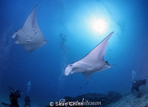 'Flight of the Mantas' by Sean Chinn