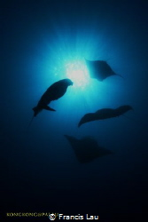 I love Manta Rays! by Francis Lau