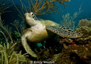 Emergence Green sea turtle emerging through soft corals. by Emily Weston