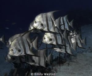 Spadefish School.  A resident group of Atlantic Spadefis... by Emily Weston
