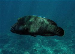 Huge Humphead Wrasse in shallow water with sunlight strea... by Alex Lim