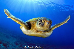 Green turtle under the sun in Canary Islands by David Carbo