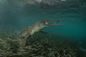 Graceful crocodile by Dmitry Starostenkov