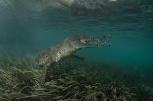 Graceful crocodile by Dmitry Starostenkov